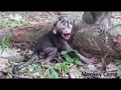 Baby monkey cry because of his mom, baby monkey consolation to the small baby monkey, Don't cry