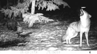 Coyote Pack Howl