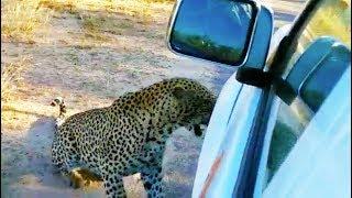 Leopard Bites & Punctures a Nissan
