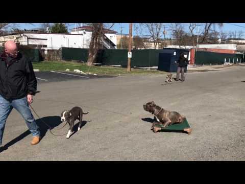 Big Zeus!  Cane Corse Dog Training | Off Leash Cane Corse Video | Off Leash K9 Training