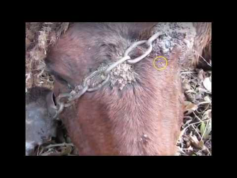 Why I Hate Horse Shows, Bits, Tie Downs, Chains & Idiots - Don't Leave Dangerous Halters On Horses