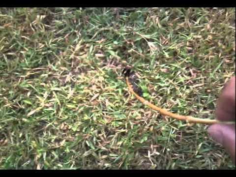 Kev failing to catch tarantulas in Antigua !! Pt 5.