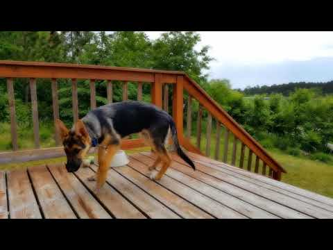 Rescued German Shepherd Puppy
