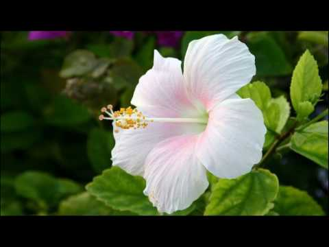 Homemade Hibiscus Oil Helps To Make Hair Thicker How To Apply At Home