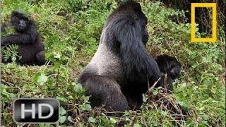 Gorilla vs  Gorilla -  Animals Attack   National Geographic HD