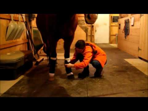 Stable Management Lesson 7-Wrapping a Standing Bandage