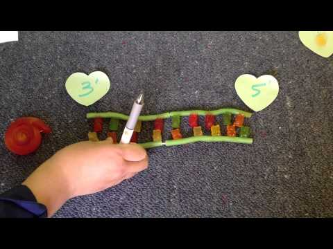 Simple DIY Candy DNA Replication