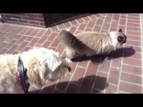 Ragdoll cat Ugo walking with dog Charlie