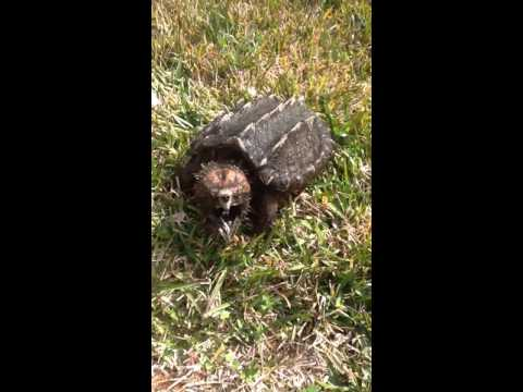 Pet alligator snapping turtle care. Making the transition from aquarium to outdoor holding tank.
