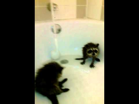 baby raccoons in the bath