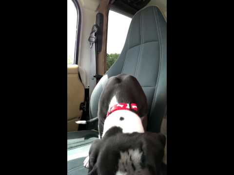 Great Dane Puppy Upset by Car Ride