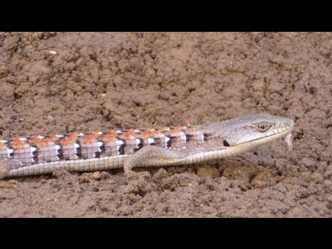 The Southern Alligator Lizard