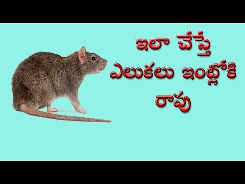 ఇలా చేస్తే ఎలుకల భాద శాశ్వతంగ పోతుంది    How To Kill Rats Naturally Must Watch