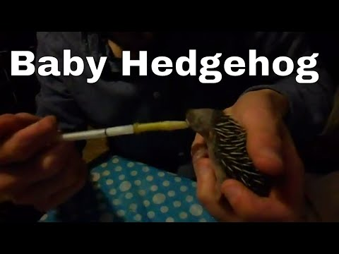 How to feed a day old orphan hedgehog.