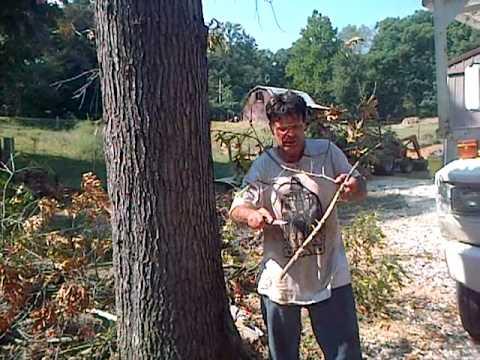 Red Oak with Oak Wilt Disease
