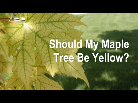 How to Cure Iron Deficiency in Maples and Oaks - Organo-Lawn