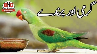 Lovebirds Breeding Tips | Kya Garmi Mein Birds Se Breed Leni Chahiye Yan Nahi Video Urdu/Hindi