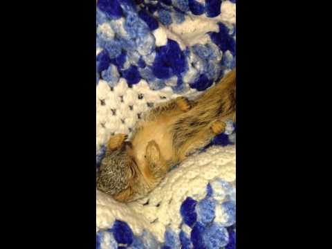 Rocking a baby squirrel to sleep