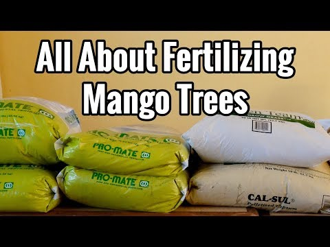 All About Fertilizing Mango Trees