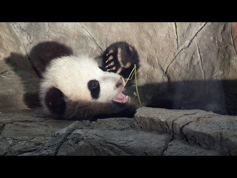 How Much Can a Panda Eat?