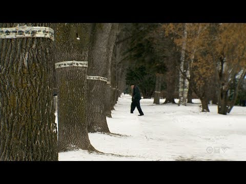 Emerald ash borer to blame for flattening of Ottawa forest