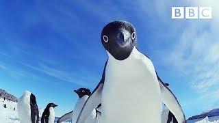 Cheeky penguins wreak havoc   Snow Chick: A Penguin's Tale - BBC