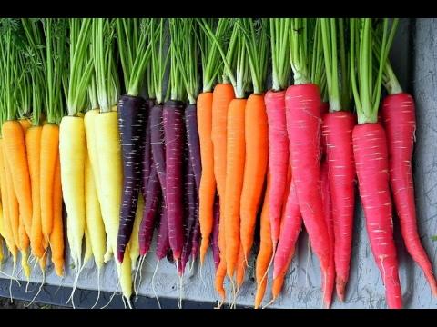Planting Carrot Seeds In February 4 Varieties :)