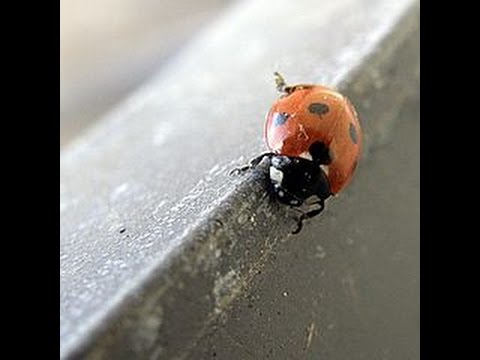 How to Home edition - Focus: Get rid of a ton of ladybugs quickly