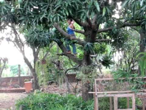 Elsa pruning the mango tree.avi