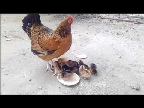 Mother Hen Teaches 1 Hour Old Chicken How to Eat | mother hen love for baby chicks