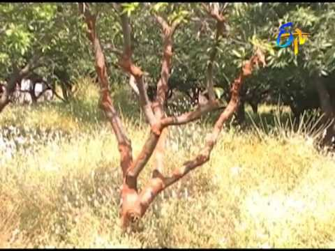 Termite problem in Mango orchards