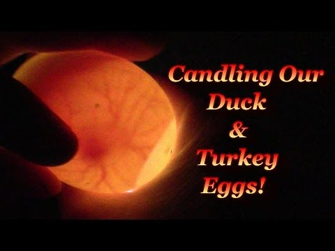 Candling The Duck Eggs