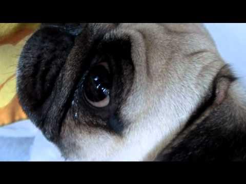 Pug crying for cake