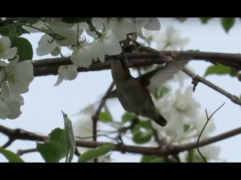Hummingbird collecting nectar from a white flowering tree