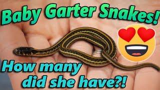 OUR GARTER SNAKE GAVE BIRTH!!