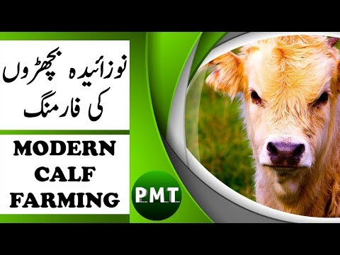 Newborn Baby Cows Calf Rearing & Farming by Modern Farming Dr. Waris | نوزائیدہ بچھڑوں کی دیکھ بھال