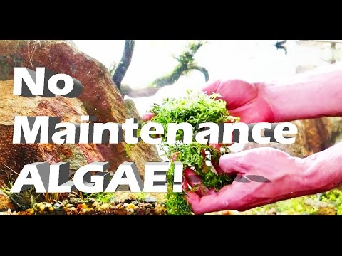 How to Kill Aquarium Algae & Foreground Plants - NO MAINTENACE TANK UPDATE : DIY ALGAE REMOVER