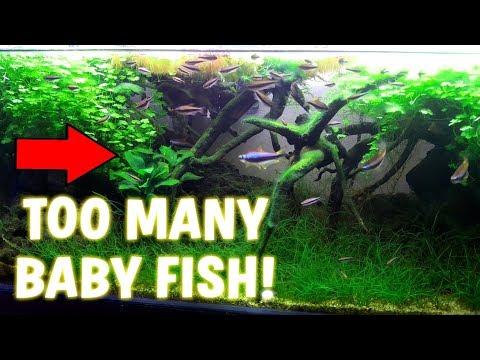 TOO MANY BABY FISH! Ahhhh!