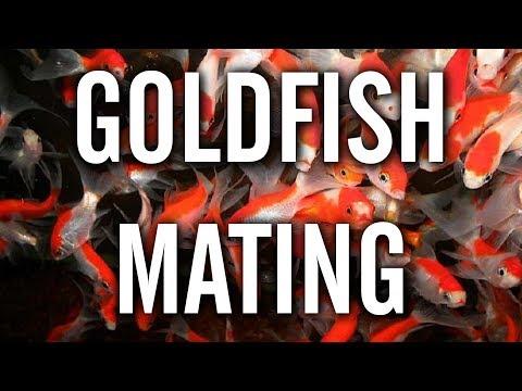 Goldfish Spawning / Mating Behavior