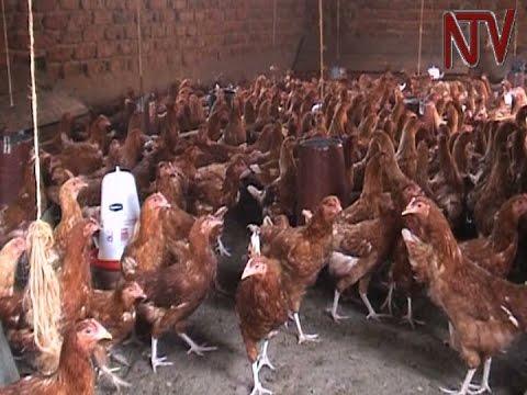 Bird flu: Masaka authorities ban transportation and consumption of domestic birds