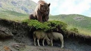 Bear Documentary Wildlife Animals Full HD Animal Planet Animals Attac