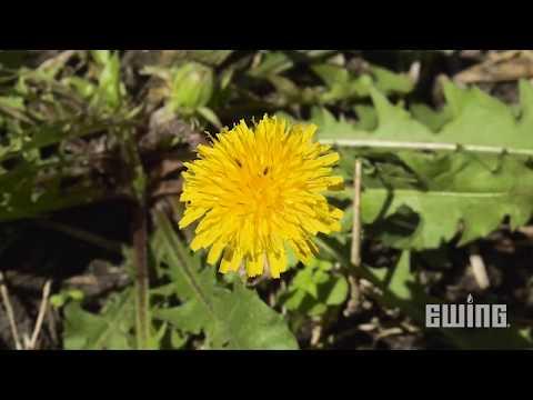 Weed Management For Landscapes - Dandelions