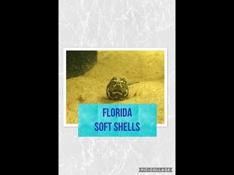 Florida Soft Shell turtles!