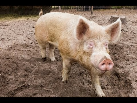 Don't Support Factory Farming: How to Raise Your Own Pigs For Meat