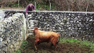 Transferir Touro Para Outras Pastagens e Tratar Um Lote de Vacas