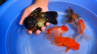 Giant Oranda for your Goldfish Tank & Pond - 1/2