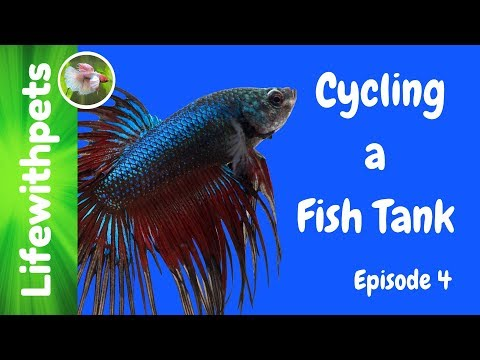 Cycling A Betta Fish Tank (Episode 4)