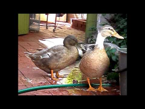 Keeping Ducks in Backyards, A Ducks Life on a Sunday Morning