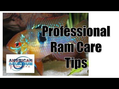 German Blue Ram- Professional Ram Cichlid Fish Care Tips