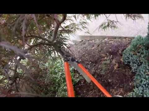 HOW TO: Limb-up a Laceleaf Japanese Maple
